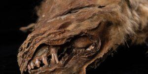 Una loba cachorra congelada hace 57,000 años fue hallada al norte de Canadá —todo, excepto los ojos, en perfecto estado de conservación