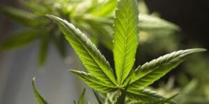 Las 26 startups de cannabis más populares que despegarán en 2021, según inversionistas