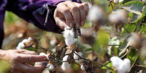 Empresas mexicanas se incluyen en el U.S. Cotton Trust Protocol, un programa que busca promover las prácticas de cultivo responsable del algodón