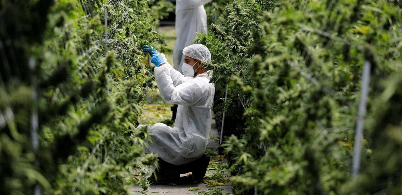 industria cannabis