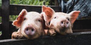 Un nuevo estudio demuestra que los cerdos son capaces de jugar y disfrutar los videojuegos
