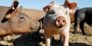 Granjas de cerdos y minas de carbón en China: los negocios en los que Huawei apuesta ante las restricciones que le impiden acceder a componentes 5G
