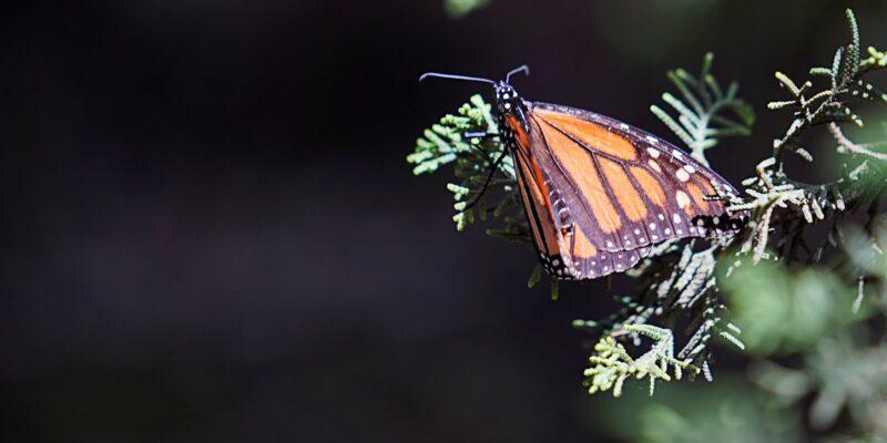 La población de la mariposa Monarca disminuye en los santuarios de México
