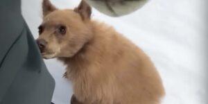 Los cachorros de oso en California desarrollan una enfermedad inexplicable que los hace amigables y no temen a la gente