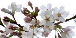 El florecimiento de cerezos más temprano en 1,200 años en Kioto es una señal del calentamiento global