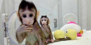 Científicos cruzan embriones de mono con células madre de humanos —las quimeras, un gran paso para la ciencia, pero con implicaciones éticas evidentes