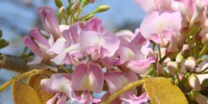 Cacahuananche, una flor  muy mexicana que se ha convertido en un aliado para la salud del cabello