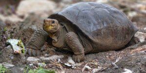 Ecuador confirma la existencia de una tortuga que se creía extinta hace 100 años en Galápagos