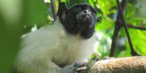 Los monos pueden adquirir nuevos 'acentos' cuando están cerca de otras especies, según un estudio