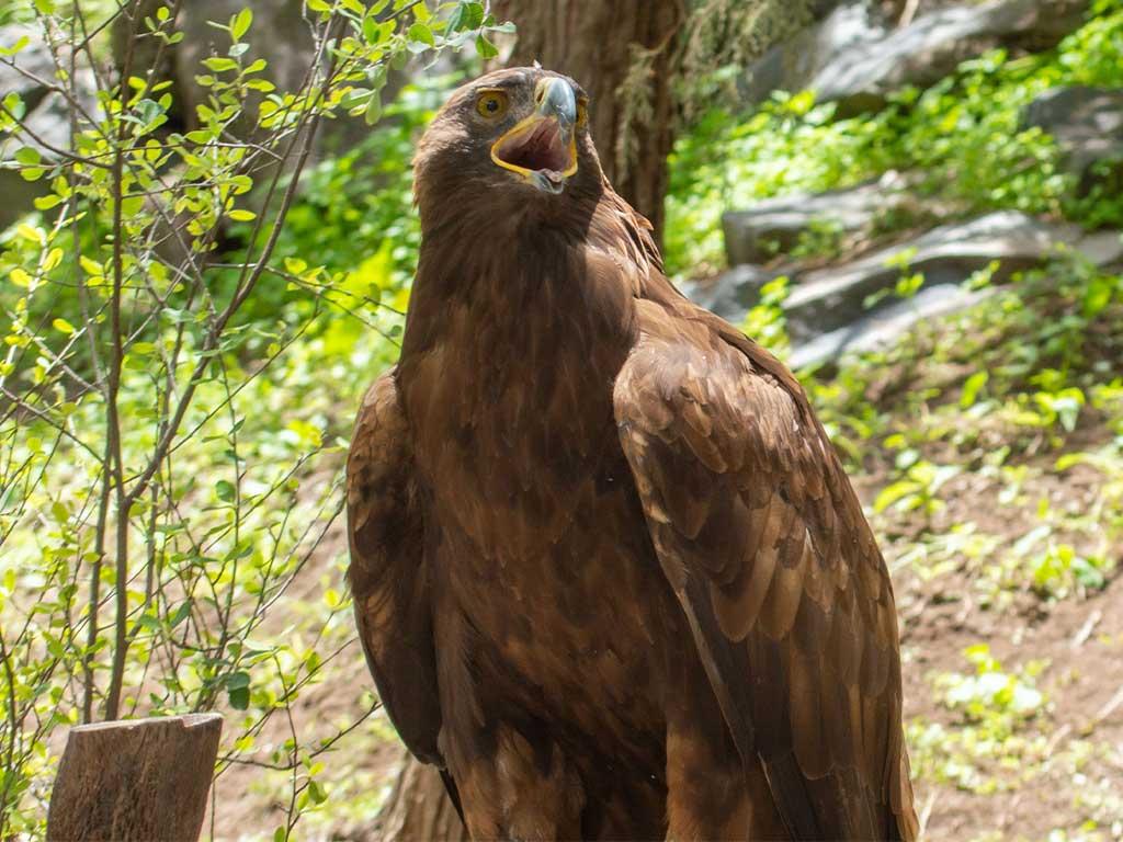 águila real Africam Safari | Business Insider México