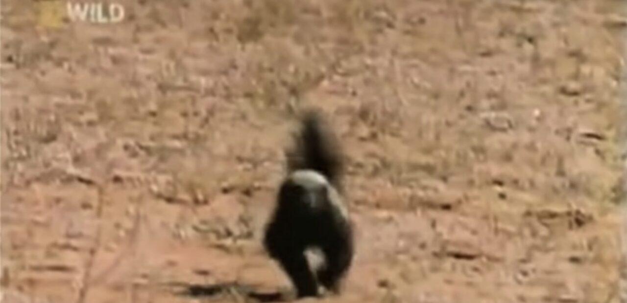 Honey Badger Dont Care  Business Insider México