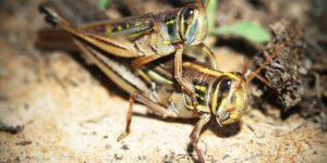 Un efecto de la sequía viene en forma de saltamontes —agricultores del oeste de EU tratan de combatir esta plaga que puede destruir al menos 20% de los cultivos