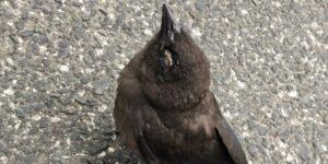 Una misteriosa enfermedad mata a cientos de pájaros en Estados Unidos y los expertos no saben por qué