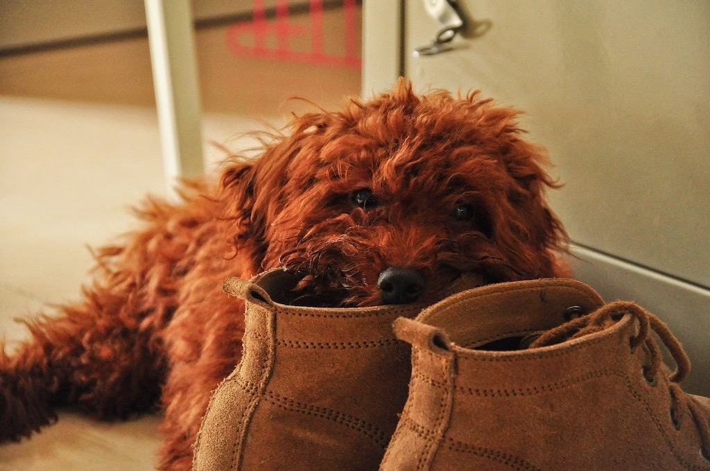 perro muerde zapatos   Business Insider Mexico