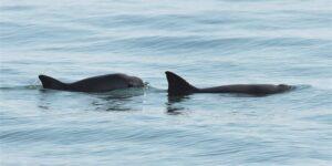 Ambientalistas aseguran que hay «retroceso» en nuevas medidas del gobierno de México para proteger a la vaquita marina