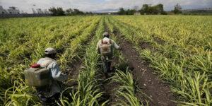Las sequías nos traen un amargo futuro —en los mercados anticipan un aumento en el precio del azúcar y déficit a nivel mundial