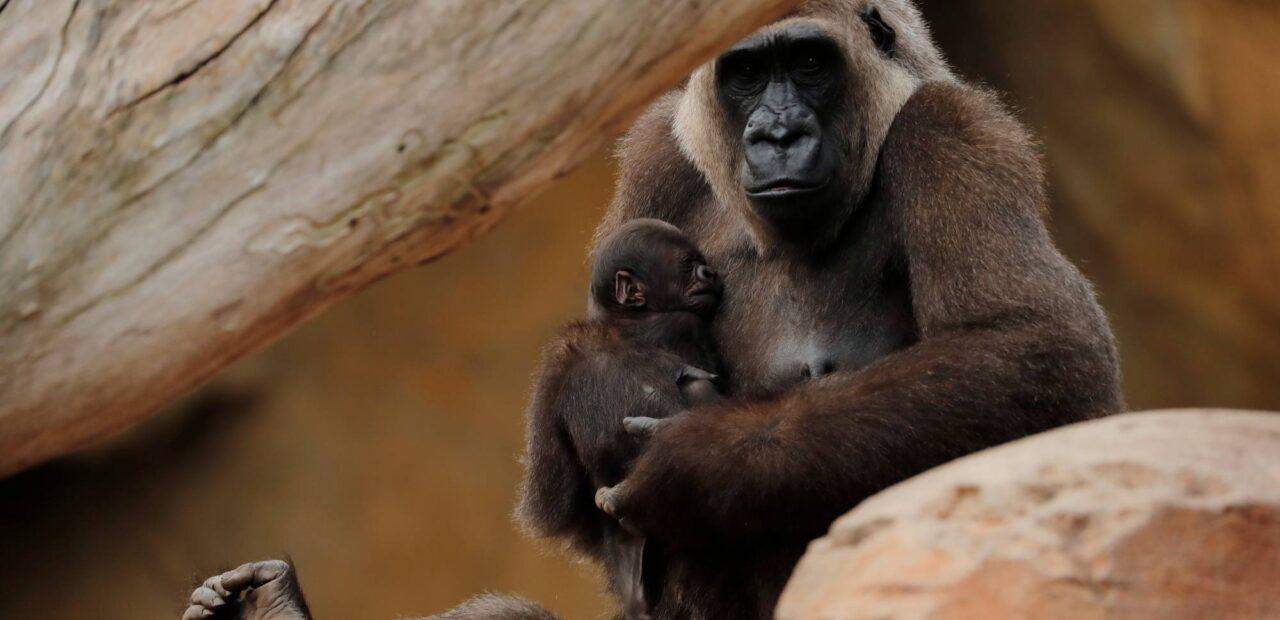 gorilas   Business Insider Mexico
