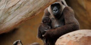 Los gorilas cargan consigo a sus bebés muertos, lo que podría demostrar que experimentan formas de duelo, según científicos