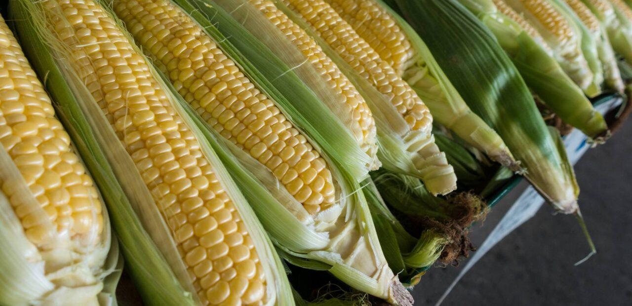 maíz transgénico | Business Insider Mexico