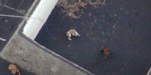 Varios perros aislados por la erupción del volcán en La Palma reciben comida y agua por medio de drones