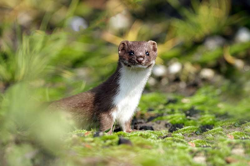 Spice Weasel