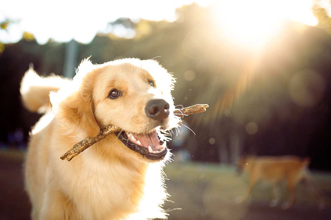 image of a golden retreiver running with a stick in it open mouth