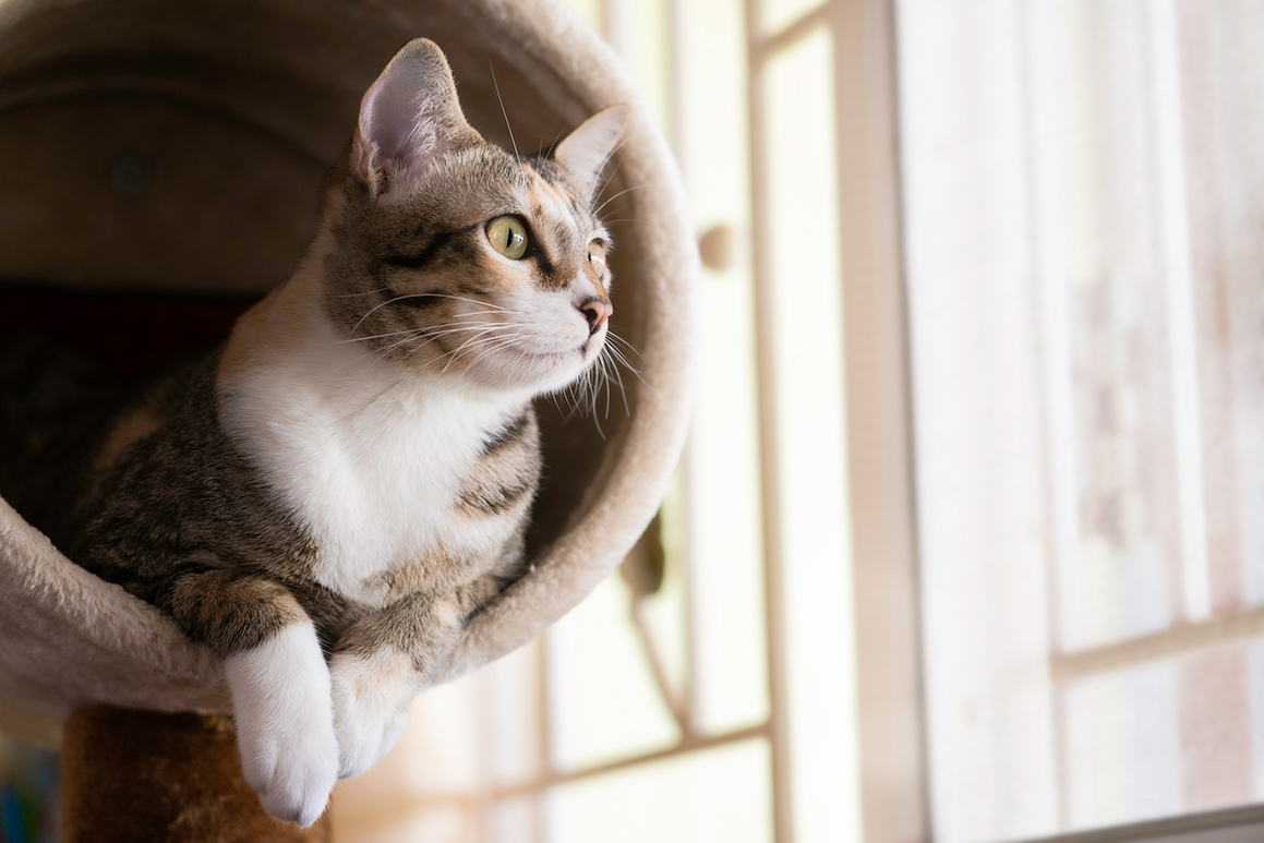 image of a grey and white cat perched in round bed staring out an interior window