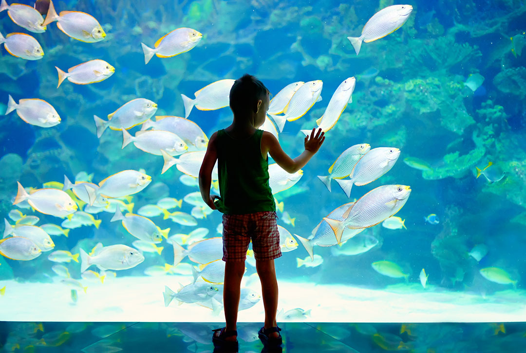 Young boy standing in front of a large glass aquarium watching a school of large white fish