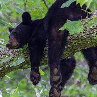 black bear on a branch
