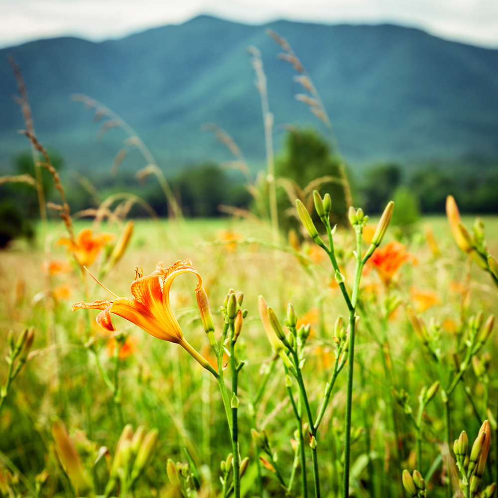 Springtime in the mountains, vallery iris's in bloom, orange flowers and tall green grass.