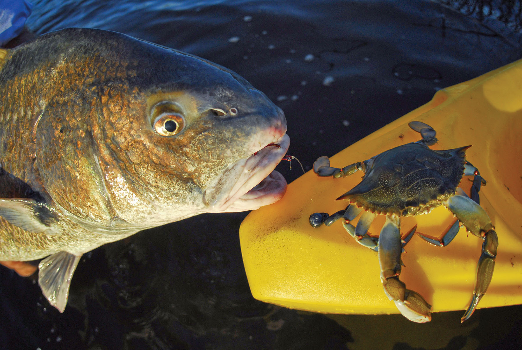 Black drum beauty or brute for How to cook drum fish
