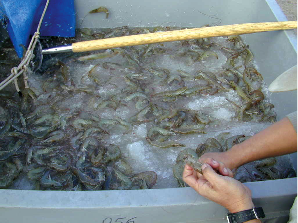 Texas parks and wildlife s shrimp inspection program for Fish farms in texas