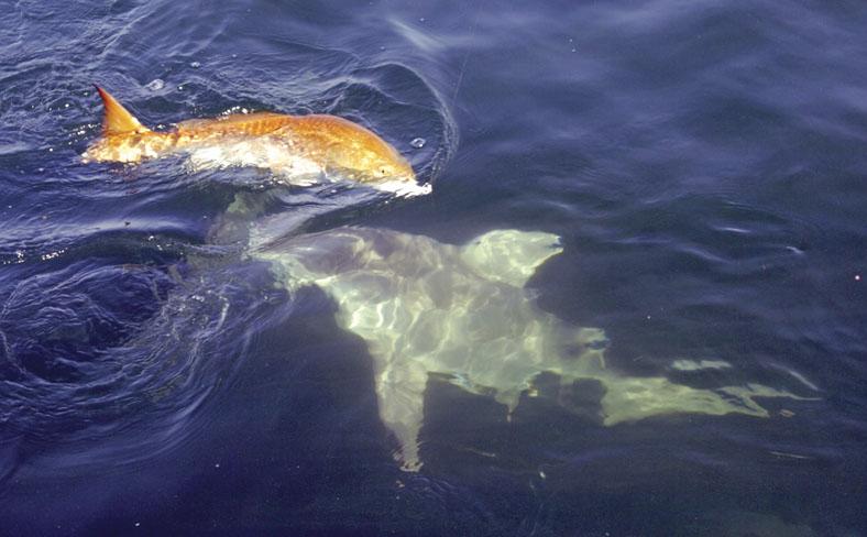 Bull Redfish Ruckus
