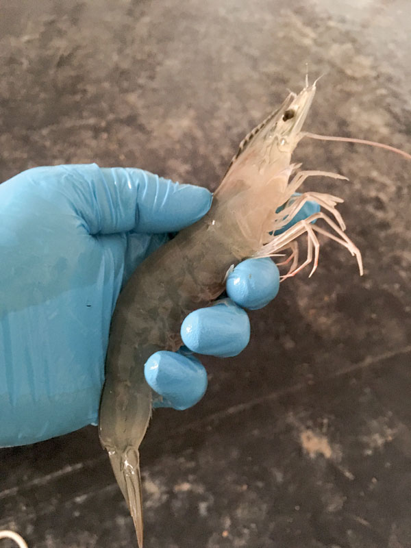 Shrimp Culture in Texas: Safety and Innovations