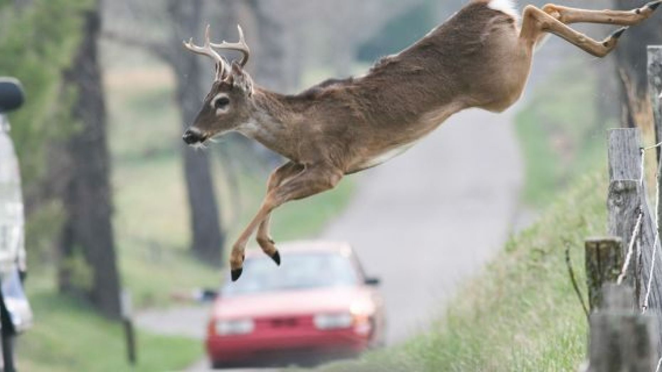 Officials Warn Drivers to Watch For Deer as Mating Season Gets Underway
