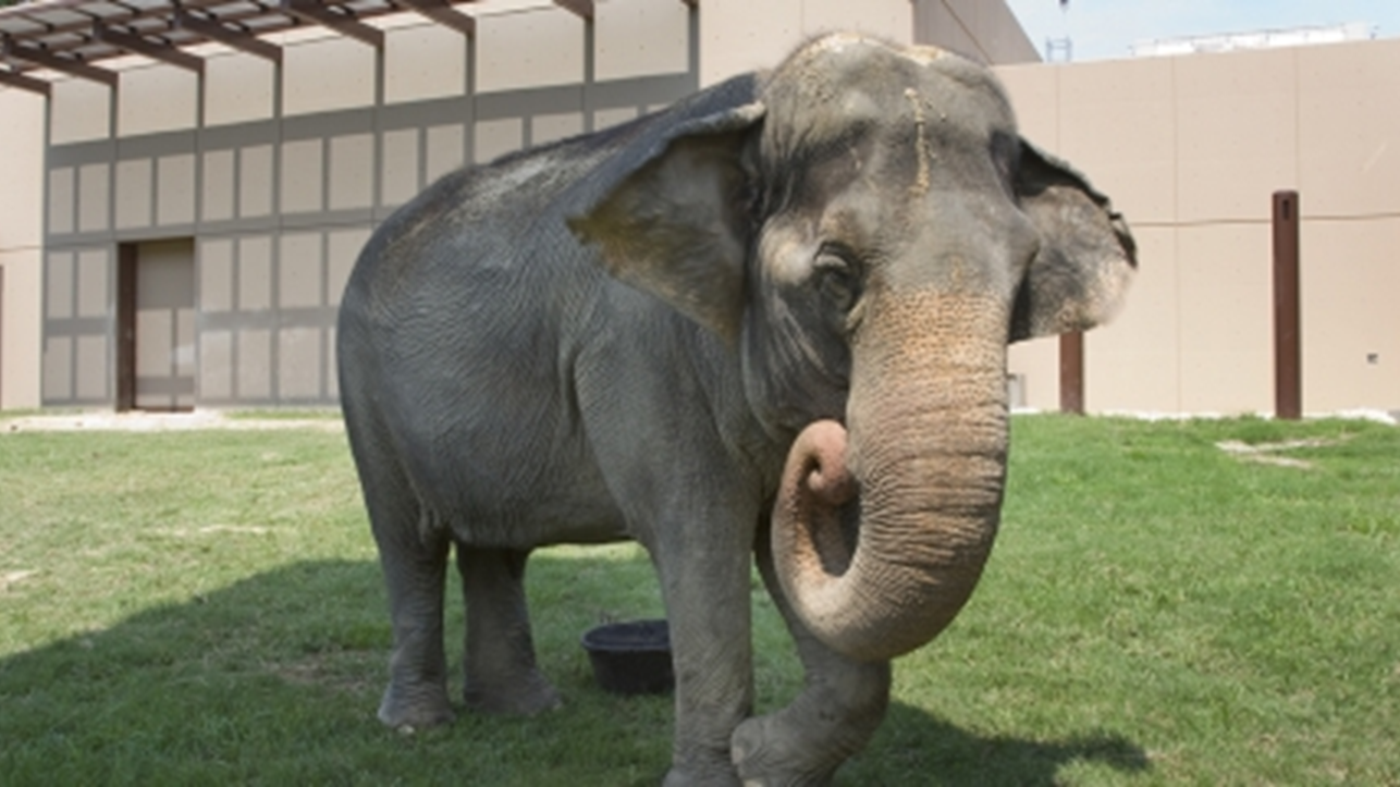 Wilstem Announces the Addition of an Asian Elephant and Partnership With International Elephant Foundation!