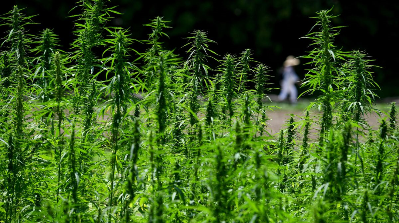 Local Purdue Crop Seminar to Focus on Hemp Production