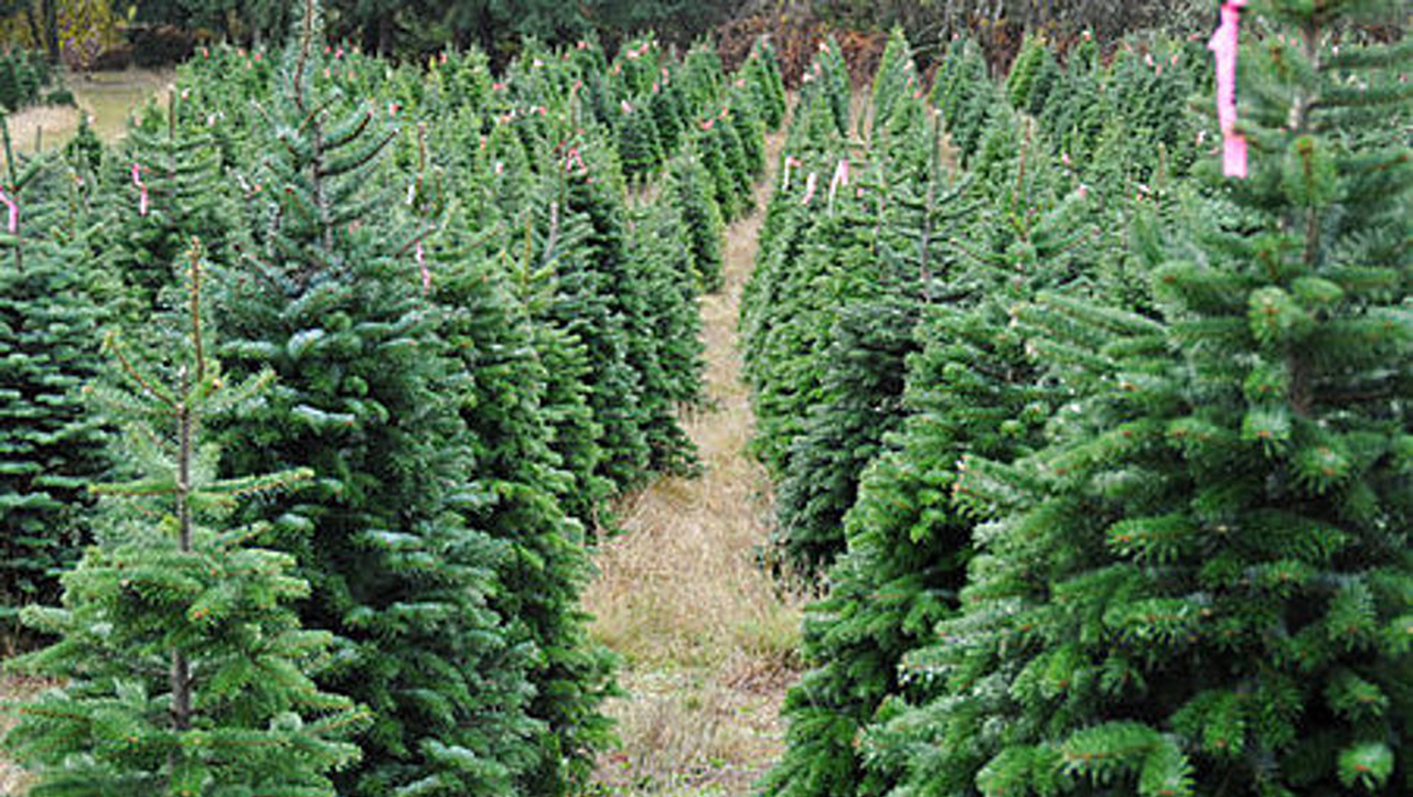 You May Have Fewer Options For Buying a Live Christmas Tree This Year