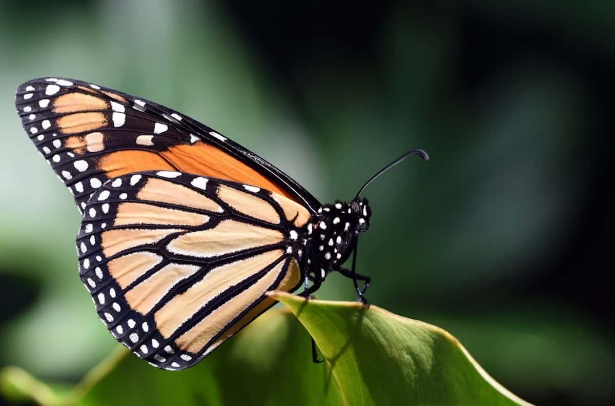 Busolinea-Mariposas Monarca en Michoacán ¡descubre la magia de verlas volar!
