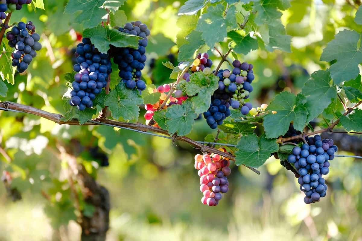 BUSOLINEA - Viñedos mexicanos: Enamórate de las uvas en forma de vino- Busolinea