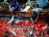 Stop the Dolphin Hunt in Taiji Japan