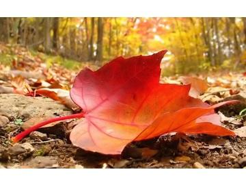 Wall_autum_leaf