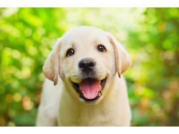 Wall_happy_lab_puppy