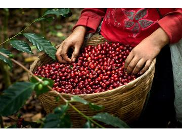 Wall_basket-full-of-coffee-cherries-coffee-farm