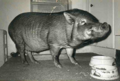 my pet pot-bellied pig Ned Beatty - NYC '94