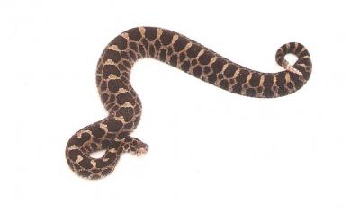 Beautiful Eastern Massasauga rattlesnake at Mosquito Lake Refuge