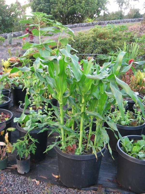 Sweet corn  (Papaya seedlings on left front, Asian broccoli (like Italian broccolini) left side, Sunflowers at top).