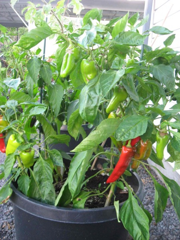 Anaheim Chile Peppers.