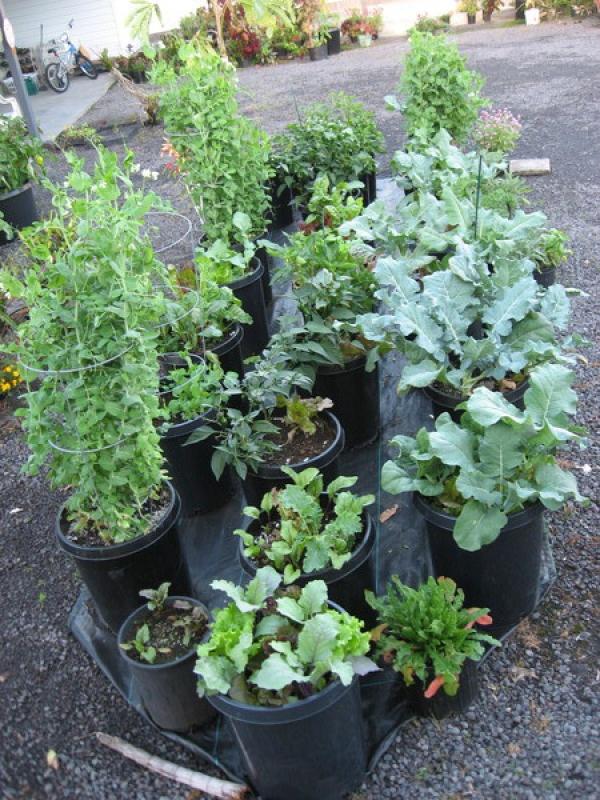 Peas, Beets, Collards, Brocolli, Peppers in 60 liter (15 gallon) pots.