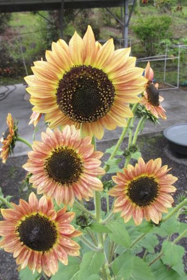 Mexican Sunflowers.